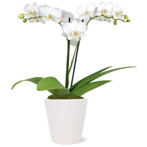 Double stemmed white orchid potted plant with a white ceramic planter