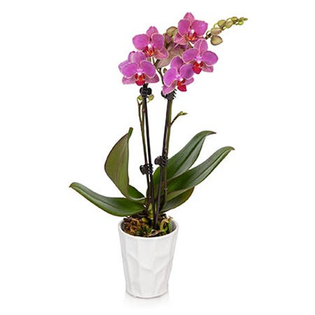 Double stemmed pink orchid potted plant delivered in a white ceramic pot