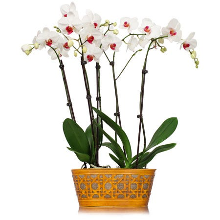 White orchid delivery