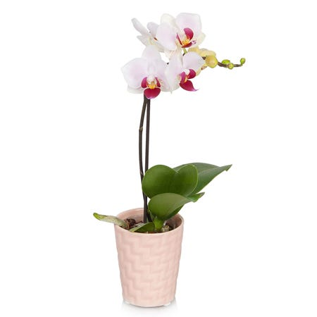 Live mini white orchid plant in a peach pot hand delivered with a message card
