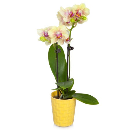 Potted mini yellow orchid planter in a yellow pot with blooming yellow orchids
