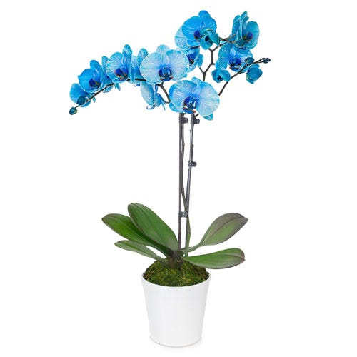 Live blue orchid potted plant hand delivered in a white ceramic pot