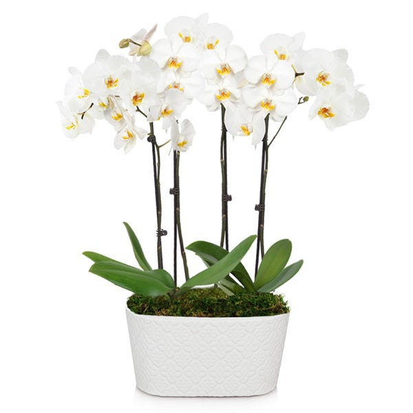 white double spike orchid plant with 4 stems white orchids in a white pot