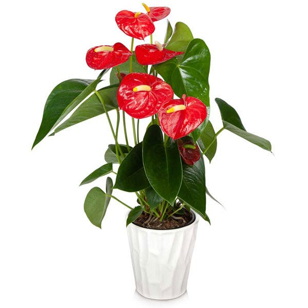 Anthurium plant planter delivery, a green plant with a pot and message card