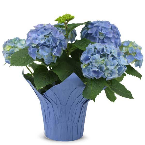 Bold Blue Hydrangea For Mom
