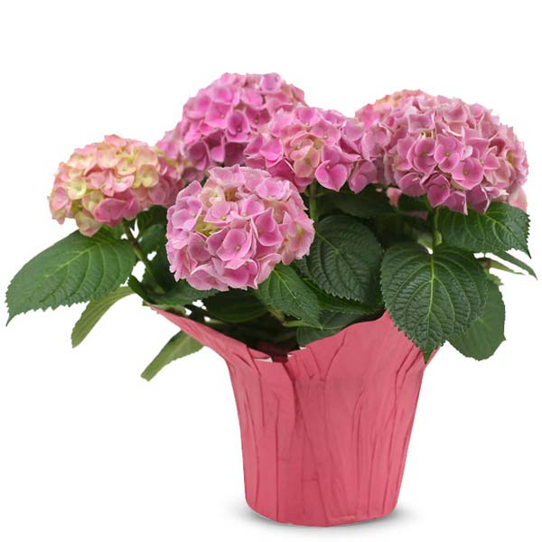 Perfect Pink Hydrangea For Mom