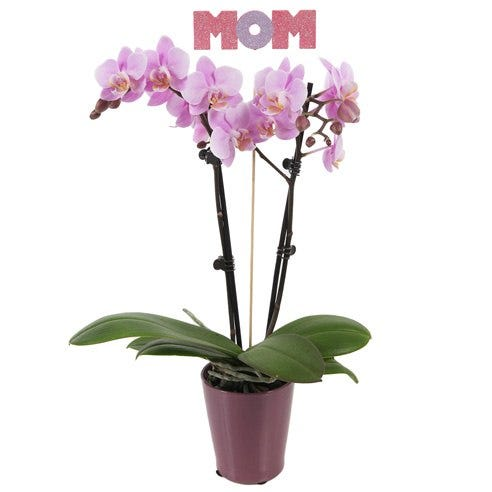 Polished Pink Mother's Day Orchid