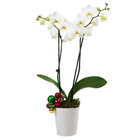 Season's Greetings Orchid Plant