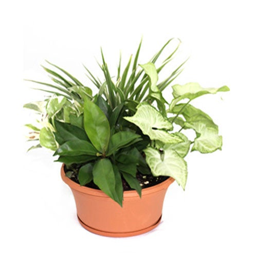 Dish garden in a clay pot for plant delivery same day from send flowers company