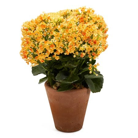 Orange kalanchoe plant and orange kalanchoe planter in a ceramic pot