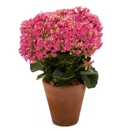 Pink kalanchoe planter delivery