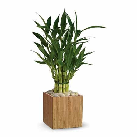 Bamboo plant and cheap flowers with same day flower delivery