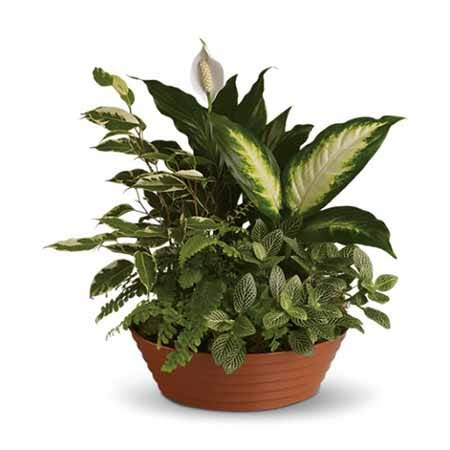 Mixed round dish garden with Hypoestes, Dieffenbachia and Spathiphyllum