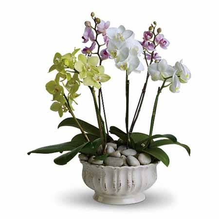 Three colored orchid plants in a planter