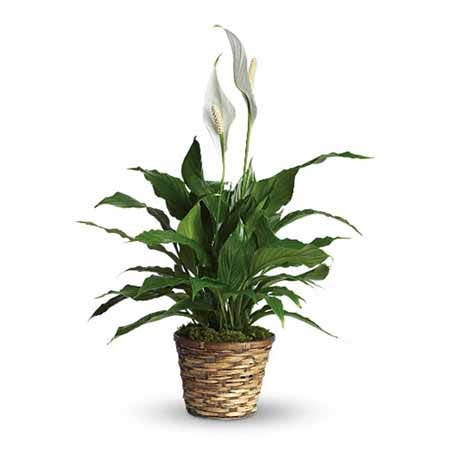 Same day spathiphyllum plant delivery from Send flowers, small spathiphyllum plant