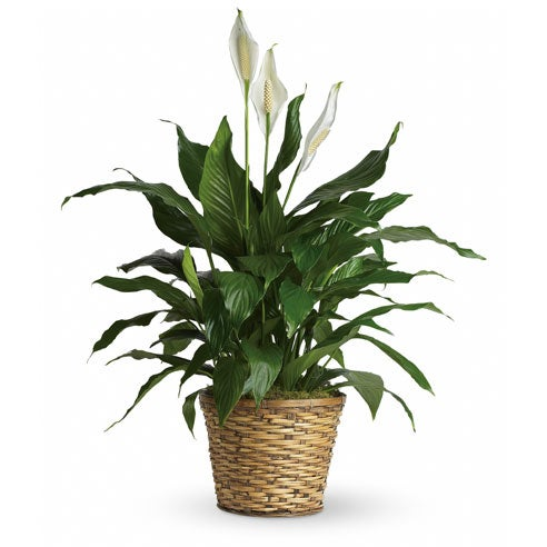 Easter plant delivery with a delivered spathiphyllum plant