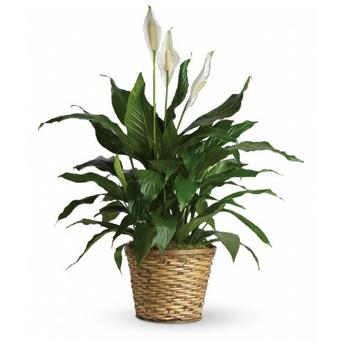 Spathiphyllum plant delivery, a green spathiphyllum planter delivery