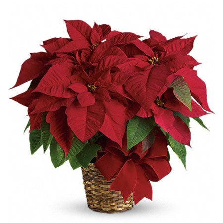 Red poinsettia for gift basket delivery with christmas flowers inside