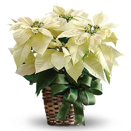 White poinsettia plant and holiday Christmas white poinsettia planter