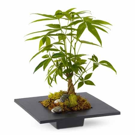 Plant delivery, order plants and get same day money tree delivery