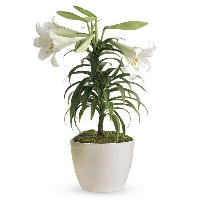 White lily plant and white lily flowering planter comes with card