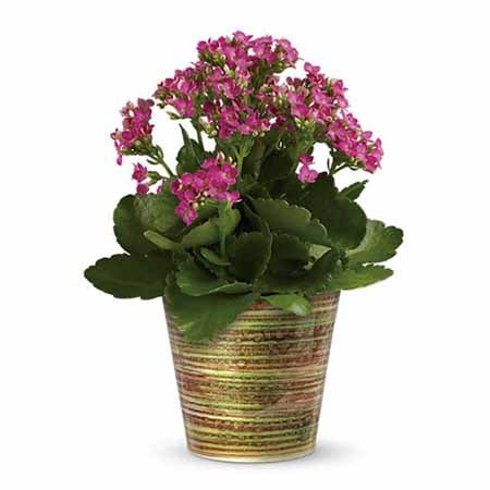 Kalanchoe plant delivery from sendflowers com in brown pot