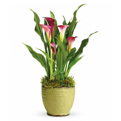 pink calla lily plant calla lily planter at Send Flowers