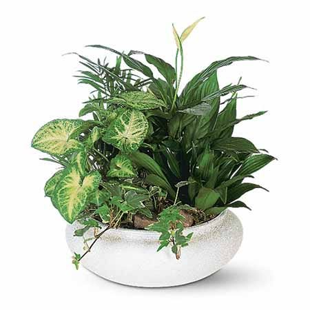 Mixed dish garden plant delivery with palm, ivy, Spathiphyllum and butterfly plant