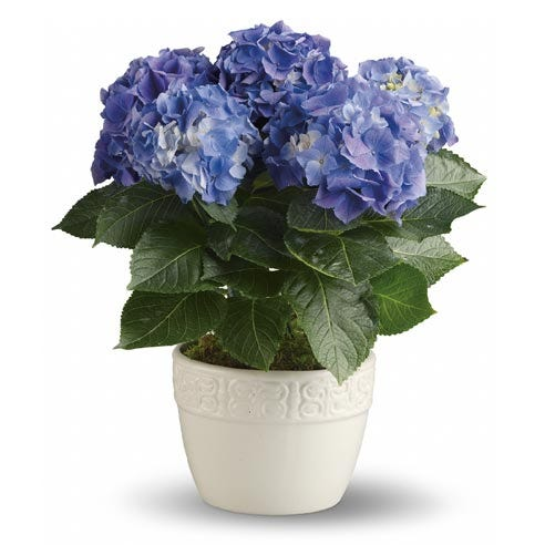 Blue hydrangea plant in a white ceramic potted planter
