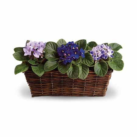 Easter plant delivery for men African  violet plant delivery
