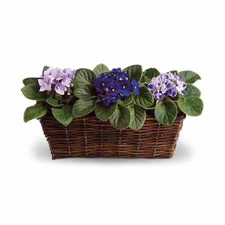 Purple African violet plant gift with 3 flowering African violet plants