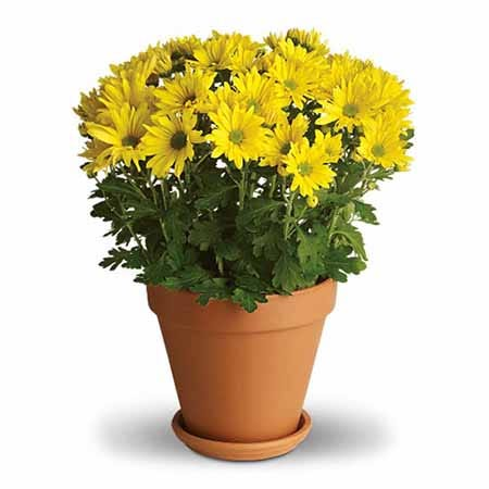 Yellow mum plant and yellow mum planter with terra cotta pot and saucer