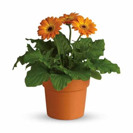 Cheap flower delivery of orange flowers and orange daisies