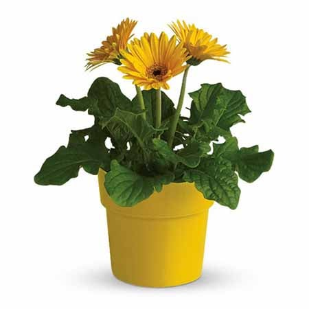 Plant delivery from send flowers for a yellow daisy plant