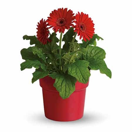 Order flowers online cheap red daisy plant and cheap flowers