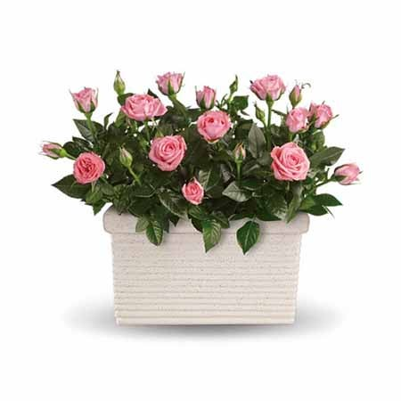 pink rose plant delivery same day, send a pink rose plant today