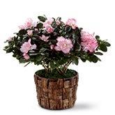 Pink Azalea Plant