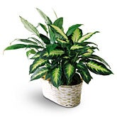Peace Lily and Dieffenbachia Planter
