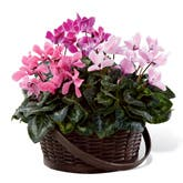 Mixed Pink Cyclamen Planter