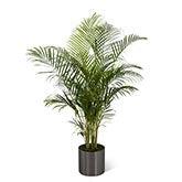 Natural Palm Plant