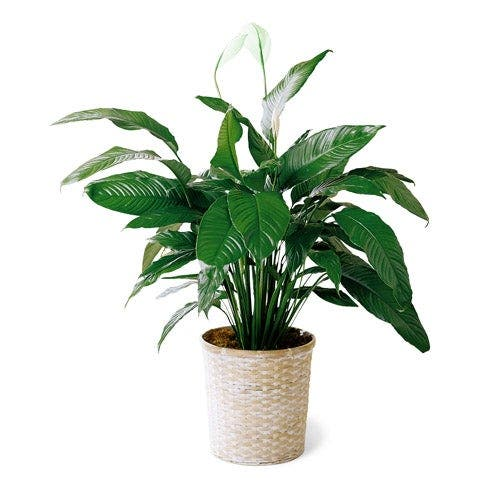 Simple Elegance Peace Lily Plant