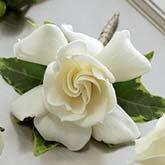 Gardenia Boutonniere