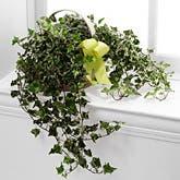 Sending Solace Ivy Planter
