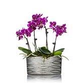 Quadrupple Stemmed Mini Magenta Orchid Planter