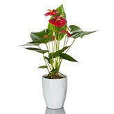 Brilliantly Red Anthurium Plant