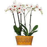 Classy White Orchid Plant