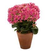 Pink Kalanchoe Planter