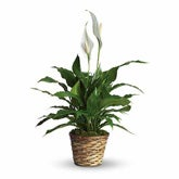 Small Elegant Spathiphyllum Plant