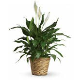 Lily Spathiphyllum Plant