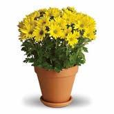 Yellow Mum Planter